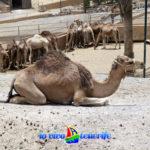curiosità cammello