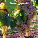 curiosità uva malvasia
